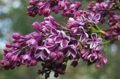 sensation-lilac