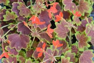 vancouver-centennial-pelargonium