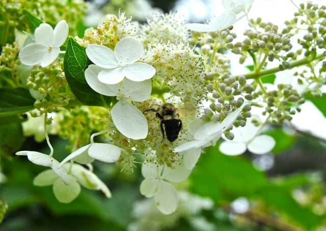 hydrangea-with-bee