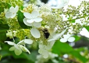 hydrangea-with-bee