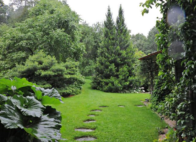 Beloved Conifer Japanese Umbrella Pine A Way To Garden