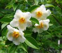 growing stewartia and other great small trees: q&a with ken druse