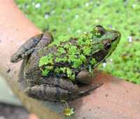 flocked frog: party girl in green velveteen