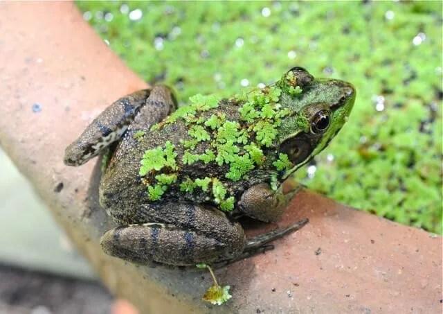 flocked frog 2