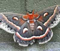 cecropia moths, millipedes and other wonders