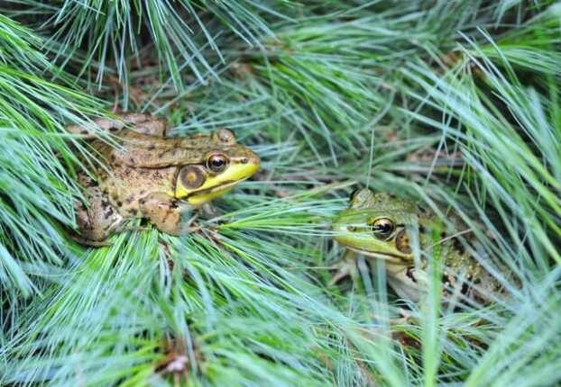 2-frogs-in-the-pines