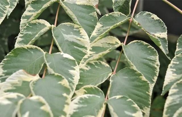 aralia elata silver umbrella foliage