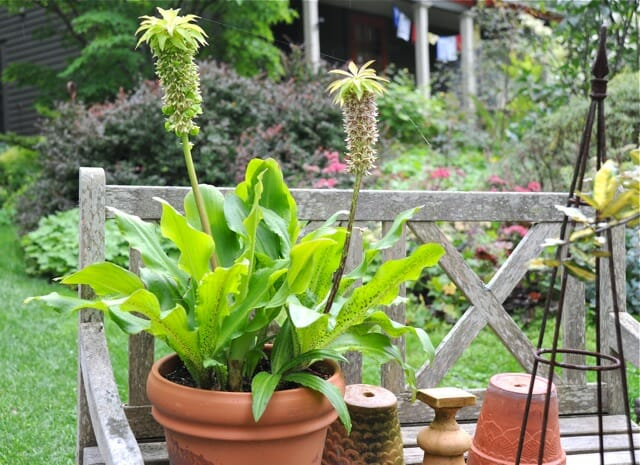 eucomis bicolor in a pot