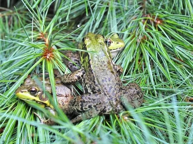 frog huddle