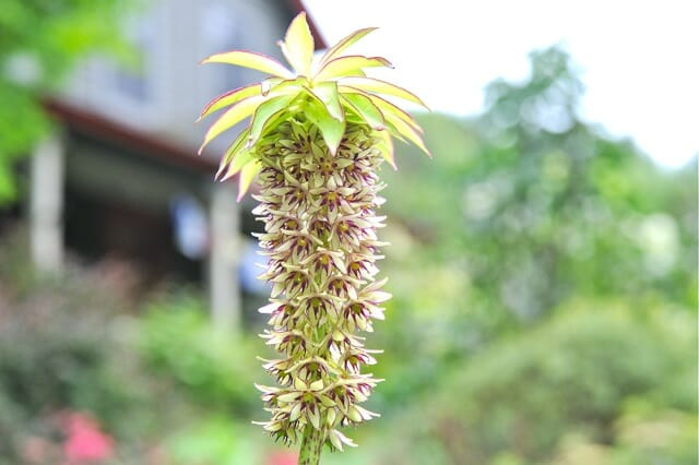 full bloom eucomis bicolor