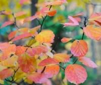 great shrub: fothergilla, a multi-season star
