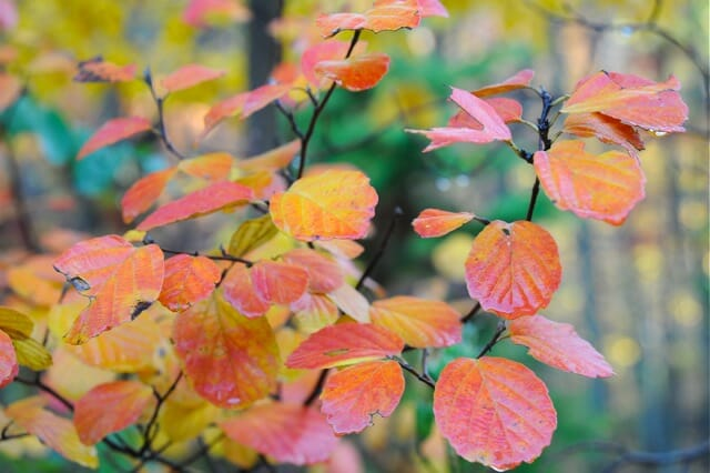 fothergilla leaves fall