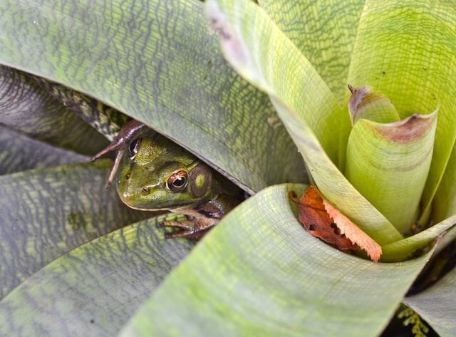 frog hiding in bromeliad