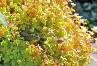 frog-hidden-in-oxalis-pot