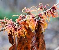 great shrub: intermediate hybrid witch-hazels