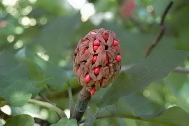 Magnolia ashei seedpod; photo by Broken Arrow Nursery