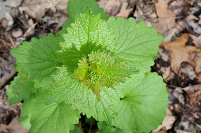 what weed is it? putting names to pesky plants - A Way To Garden