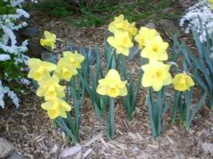 daffodilsfromkitchenwindow-89be26a6ffdbf7ccd7eb5eaaba39d84ab9bafb69