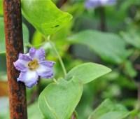 slideshow: name that flowering clematis vine!