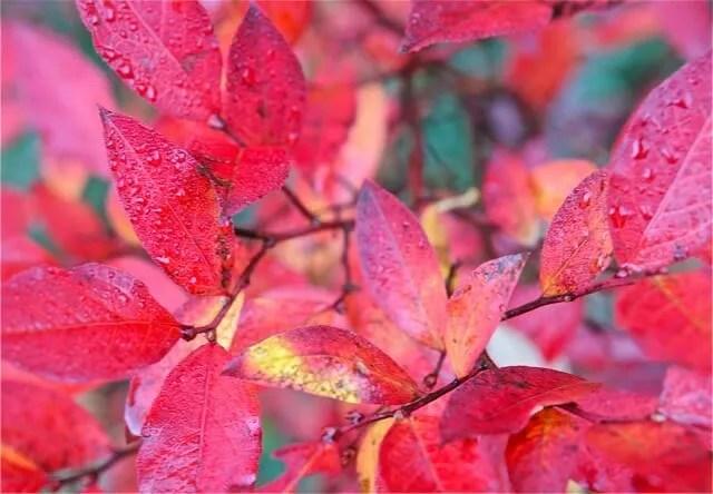 lowbush blueberry fall foliage