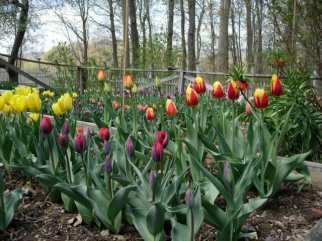 tulips in the raised beds