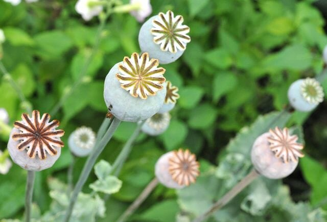 An easy annual poppy papaver somniferum a way to garden im saving annual poppy seeds in little brown bags turning the intricate preposterously shaped heads wrong side up after the pods start to ripen mightylinksfo Image collections