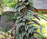 the rex begonia vine, cissus discolor