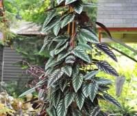 the rex begonia vine, cissus discolor