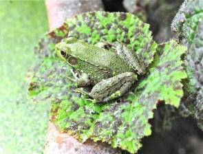 frog-on-begonia-leaf
