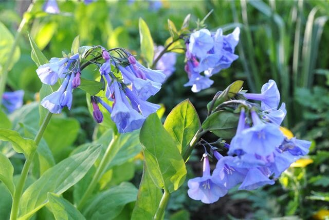 A Plant Id Order This Fall Virginia Bluebells A Way To