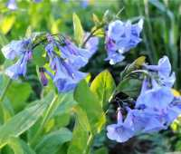 a plant i'd order this fall: virginia bluebells