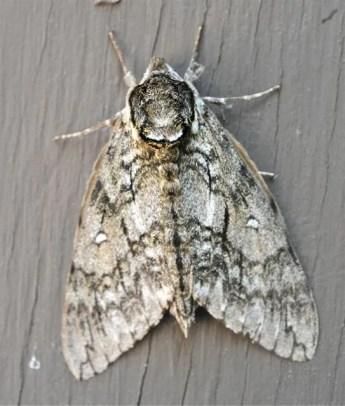 waved-sphinx-moth