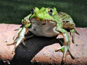 young-female-green-frog