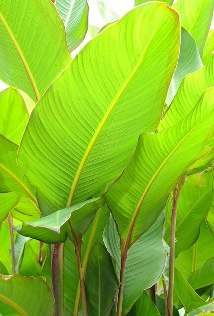 "Canna 'Musafolia' or 'Grande,' the so-called ""banana canna"""