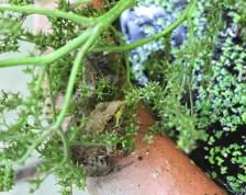 peek-a-boo-green-frogs