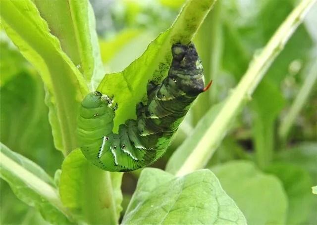 tobacco hornworm eating nicotiana