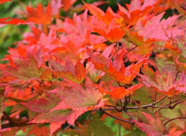 Acer pseudosieboldianum, a Korean maple, in fall color
