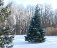 A 'Candicans' concolor fir, Abies concolor, on the hill above the house