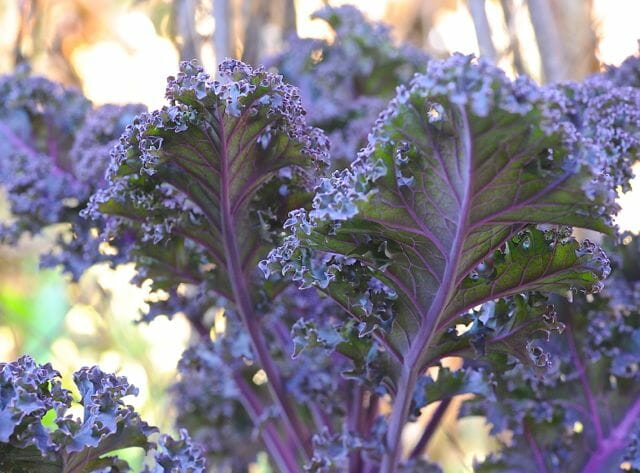 dark purple kale
