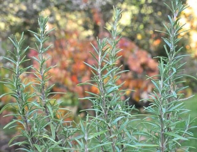 Jardinería de contenedores | Plantas de contenedores | Plantas de invierno: Jardinería