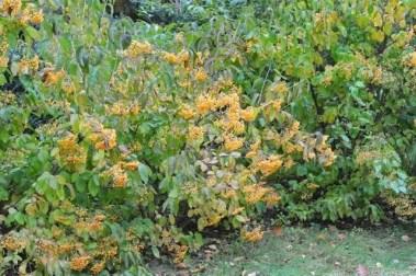 viburnum-michael-dodge-2012-fruit