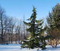 my top conifers for year-round garden beauty