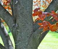 copper or purple beech, a tree worth waiting for