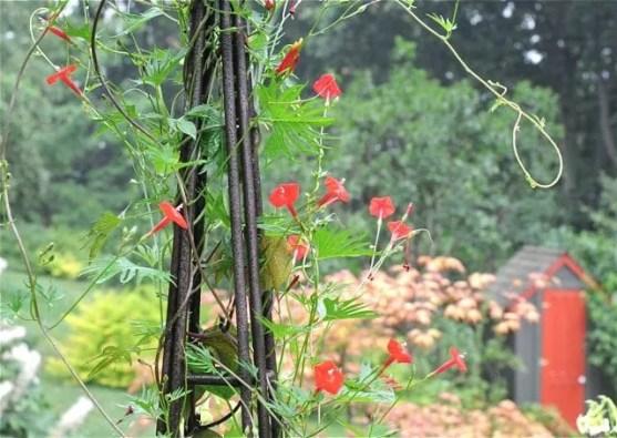 ipomoea-multifida-cardinal-climber