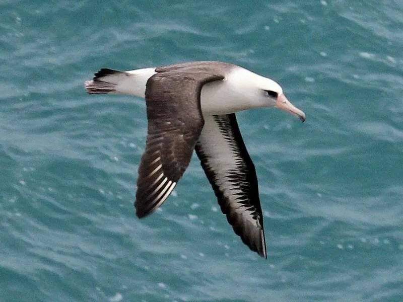 800px-Laysan_Albatross_RWD2