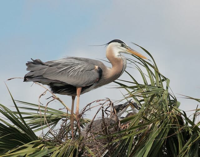 Great Blue Heron with nestlings © Tom Grey