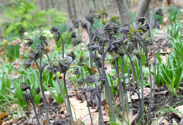 caulophyllum blue cohosh