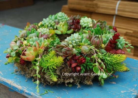 living succulent wreath by avant gardens