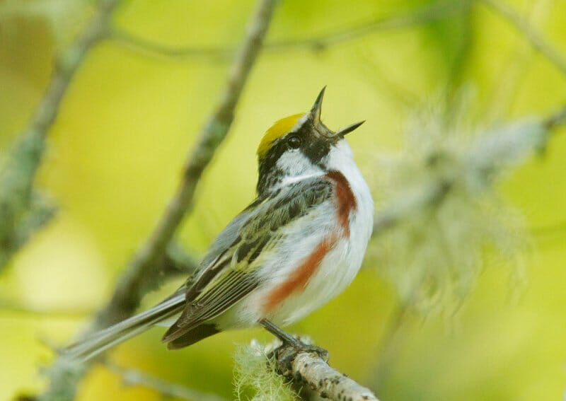 chestnut-sided warbler by tom grey