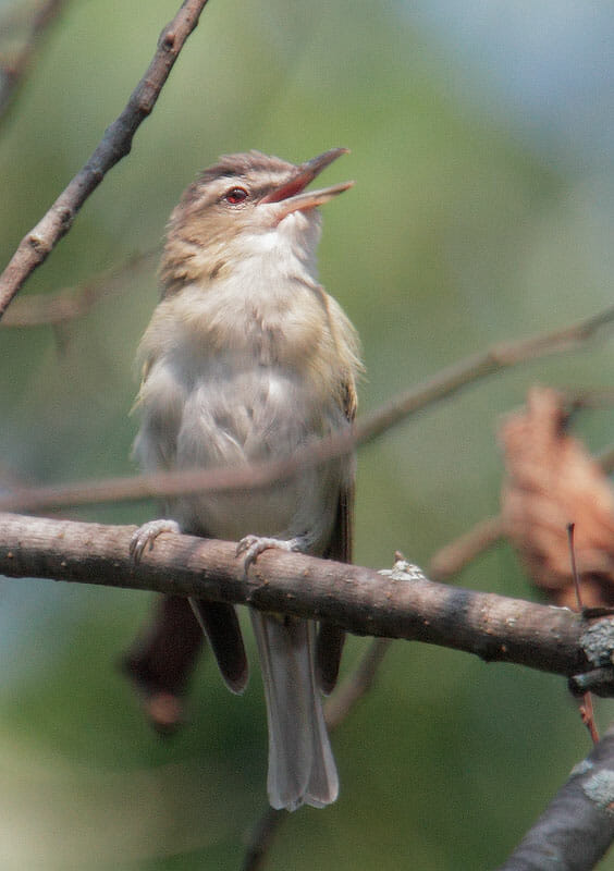 Red-eyed Vireo male © Tom Grey